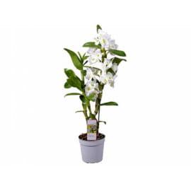 Дендробиум белый nobile