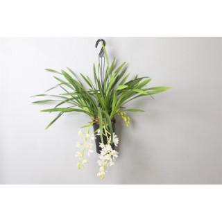 Орхидея цимбидиум подвесная