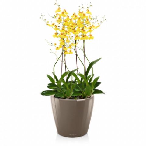Орхидея онцидиум с кашпо