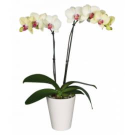 Желтая орхидея фаленопсис с кашпо